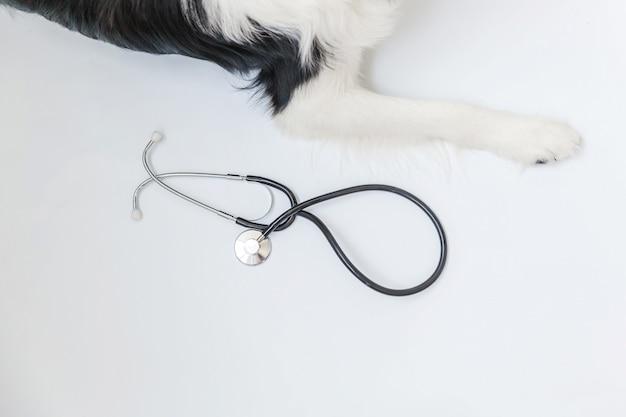 Zampe e stetoscopio di border collie isolati su fondo bianco