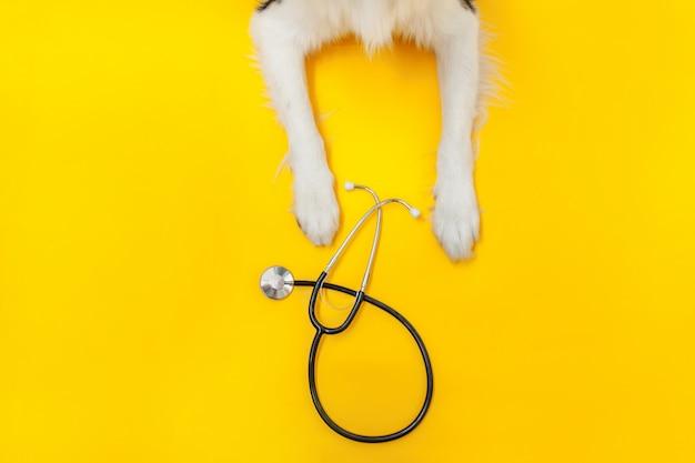 Zampe e stetoscopio di border collie isolati su fondo giallo