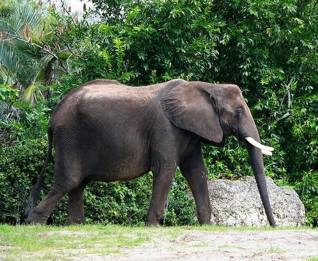 Zanna di elefante africano toro pachiderma avorio