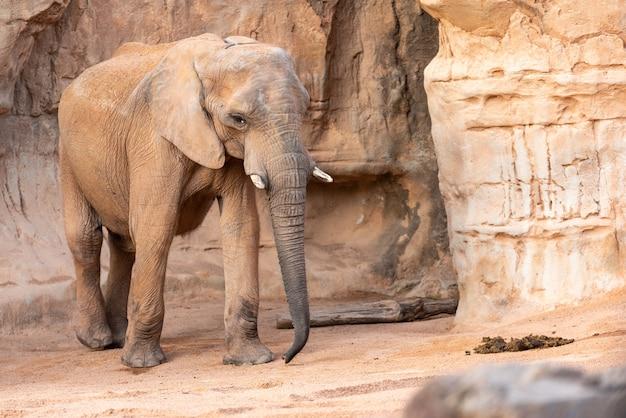 Zanne africane dell'elefante della savanna, loxodonta africana, esaminante macchina fotografica.