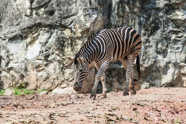 Zebra che mangia nello zoo alla tailandia