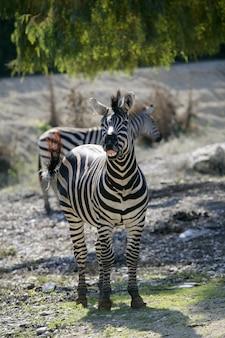 Zebra che ride, immagine animale divertente
