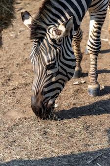 Zebra del primo piano