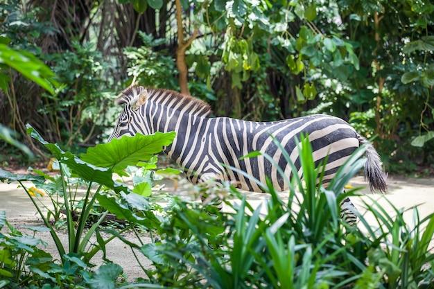 Zebra nascondentesi stante nell'erba alta