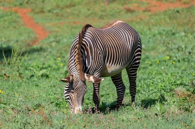 Zebra piacevole che pasce nel campo