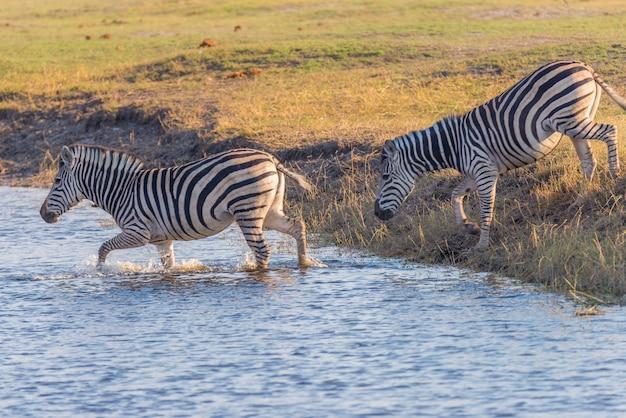 Zebre che attraversano il fiume chobe. luce del tramonto calda incandescente. safari della fauna selvatica nei parchi nazionali africani e nelle riserve naturali.