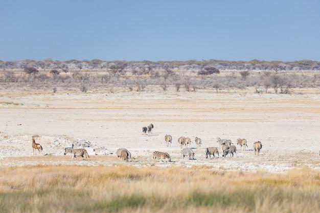 Zebre che pascono nel cespuglio, savana africana. safari della fauna selvatica, parco nazionale di etosha, riserve naturali, namibia, africa.