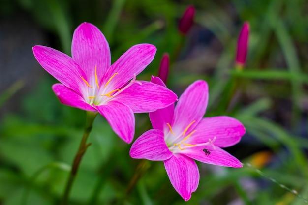 Zephyranthes è un fiore bellissimo