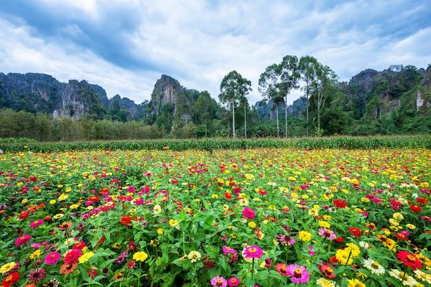 Zinnia comune (zinnia elegante) meravigliosamente nel giardino con le montagne in noen maprang phitsaunlok, tailandia.