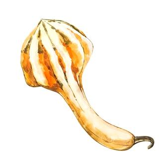 Zucca. pittura ad acquerello disegnata a mano su bianco. illustrazione ad acquerello
