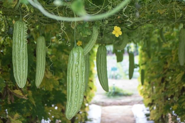 Zucca verde in giardino pronto a raccogliere con lo spazio della copia