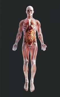 3d, ilustração, de, um, esqueleto masculino, músculo, sistema, osso, e, sistema digestivo, com, caminho cortante