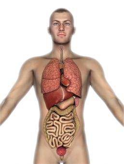 3d rendem de uma figura masculina com órgãos internos expostos