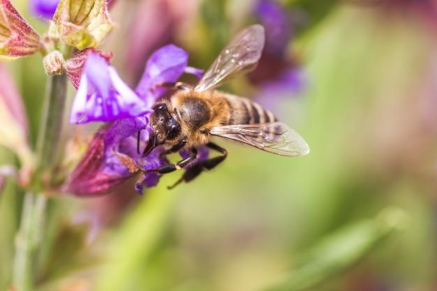 A abelha coleta néctar de flores roxas de salvia pratensis.