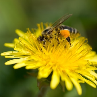 A abelha coleta o pólen do dente-de-leão.