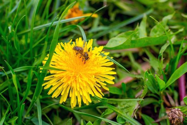 A abelha coleta um néctar de uma flor de dente-de-leão em um clima ensolarado