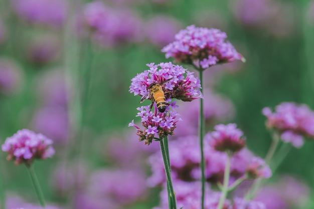 A abelha em verbena está florescendo e bonita na estação chuvosa.