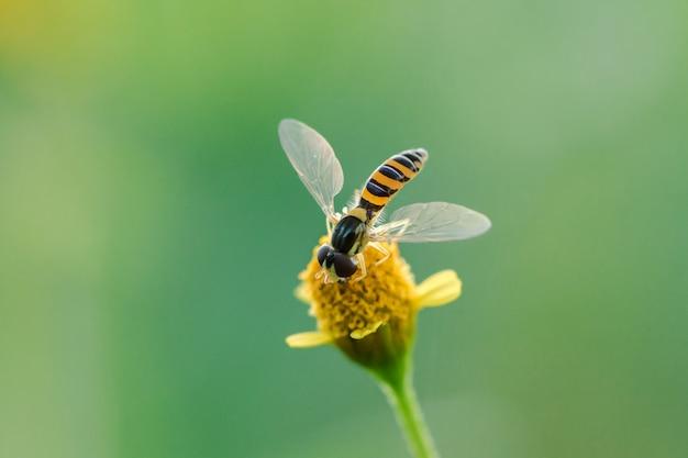 A abelha está no pólen da flor amarela