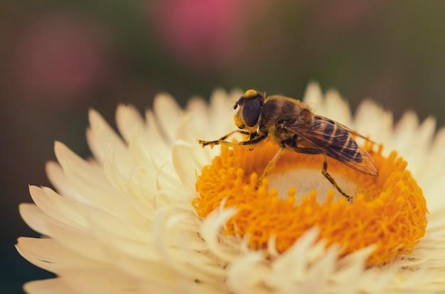 A abelha está sugando o pólen rosa doce
