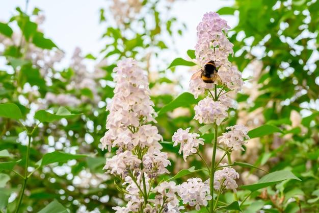A abelha. flores desabrochando da primavera. lindas flores de árvore lilás. conceito de primavera. os ramos lilás de uma árvore no jardim.