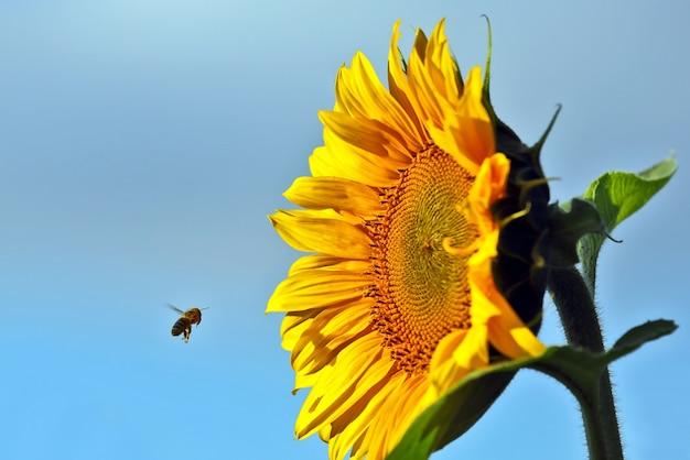 A abelha polinizando a flor de um girassol closeup