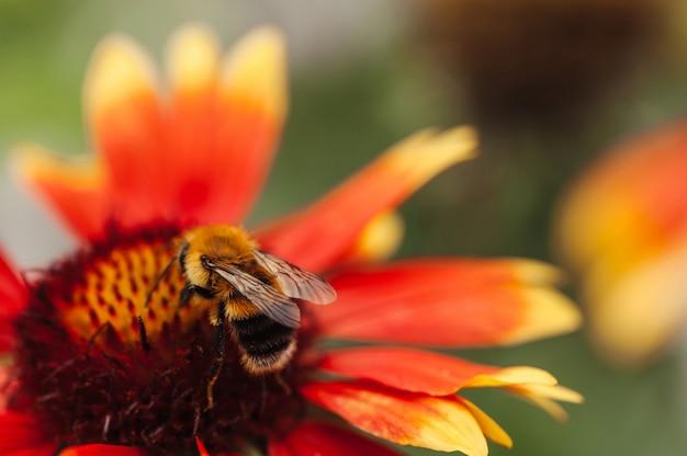 A abelha senta-se em uma flor vermelha close-up