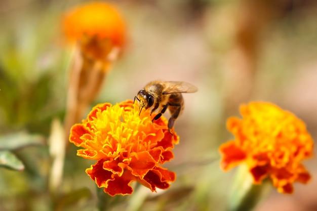 A abelha senta-se no cravo-de-defunto da flor da laranja