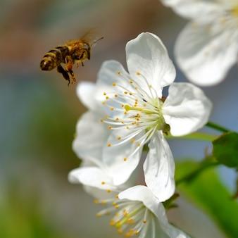 A abelha voa para as flores de cerejeira