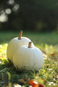 A abóbora branca ajustou-se em um gramado verde em um jardim borrado. tempo de outono.