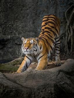 A ação do tigre estica preguiçosamente.