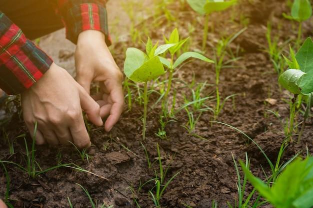 A agricultura administra a horta para crescer.