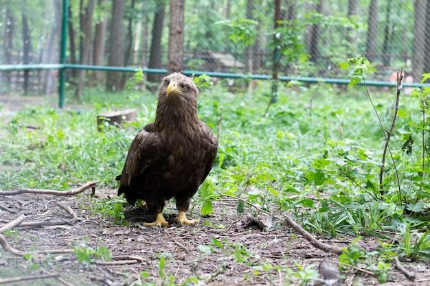 A águia da estepe caminha entre a vegetação. uma ave de rapina da família do falcão.
