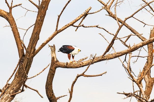 A águia devora peixes em um galho baringo quênia