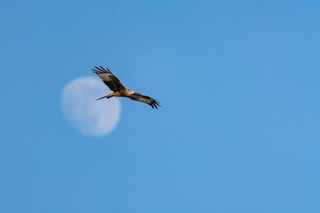 A águia no céu azul voa com as asas abertas