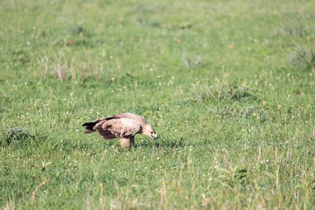 A águia no meio da pastagem em um prado