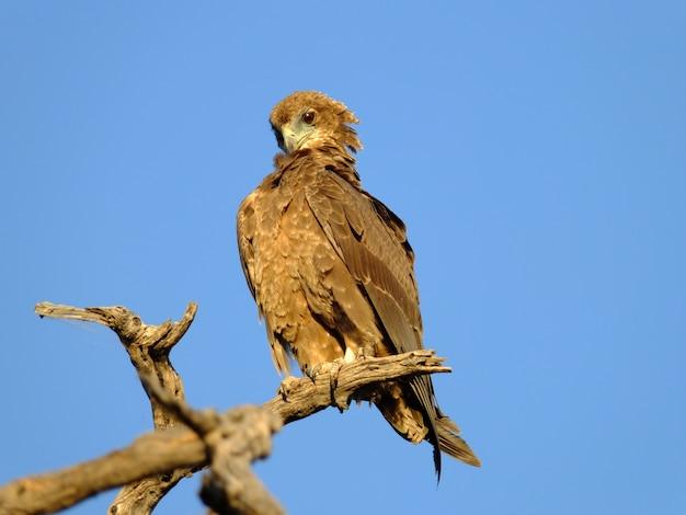 A águia no safari no parque nacional de chobe, botswana, áfrica