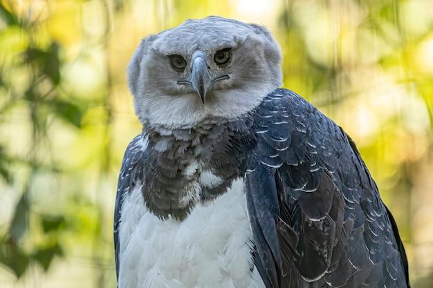A águia-real (harpia harpyja) com bokeh verde da natureza como pano de fundo.