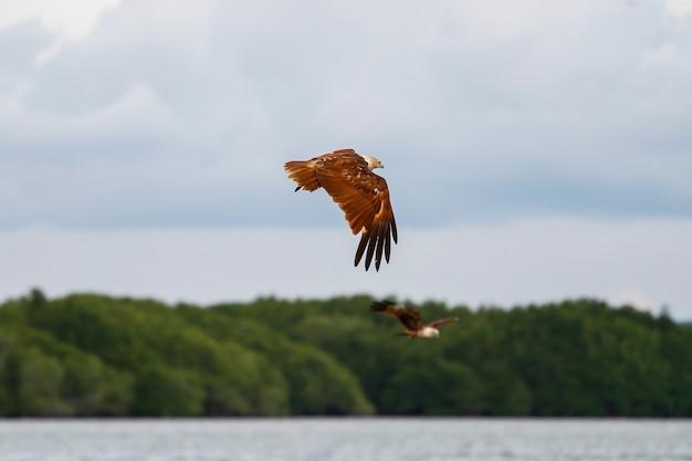 A águia vermelha voa no céu na natureza na tailândia