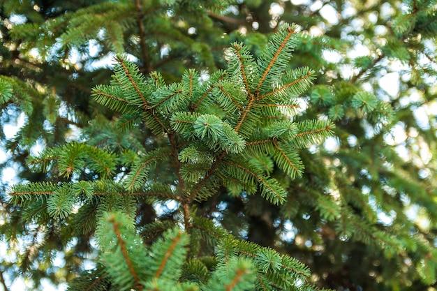 A agulha fresca do pinheiro do close up deixa no ramo sobre o céu azul na primavera