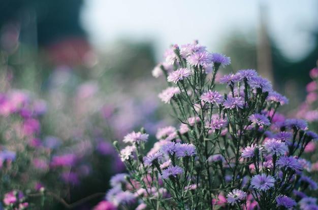 A alfazema floresce o por do sol sobre um campo roxo da alfazema do verão.