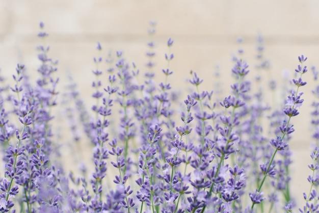 A alfazema lilás à moda delicada floresce no verão no jardim em um fundo cinzento. foco seletivo