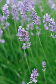 A alfazema lilás delicada floresce no jardim no verão. uma abelha está sentada em uma flor de lavanda. foco seletivo