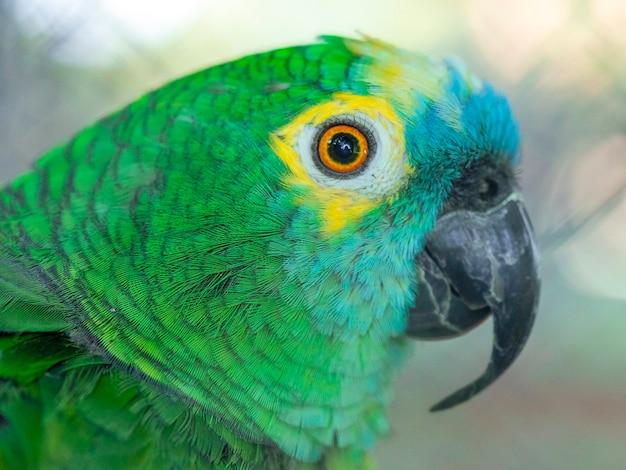 A amazona de frente turquesa (amazona aestiva), também chamada de papagaio de frente turquesa, a amazona de frente azul e o papagaio de frente azul em fundo branco com espaço de cópia.