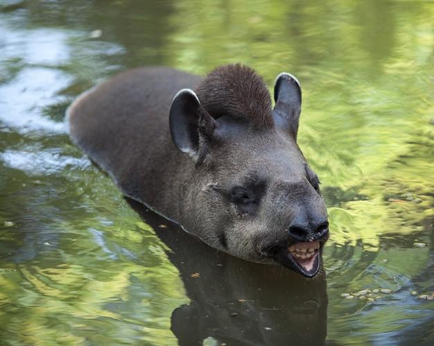 A anta flutua na água. animal selvagem fofo e engraçado