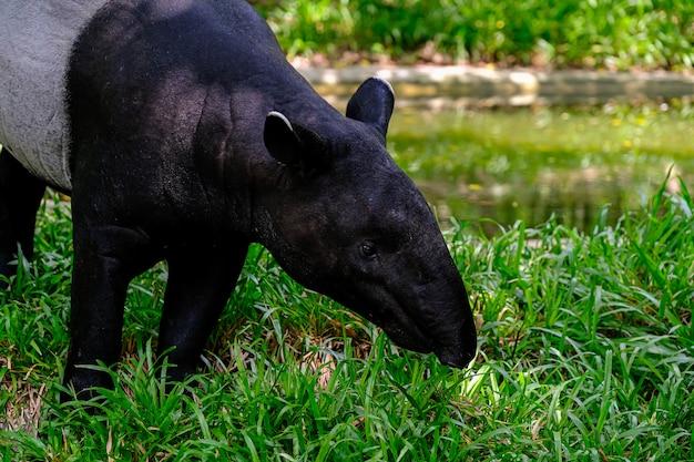 A anta malaia (tapirus indicus)