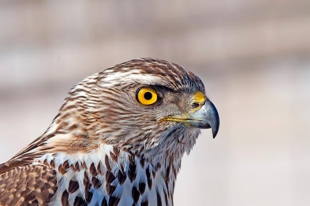 A aparência predatória de um falcão