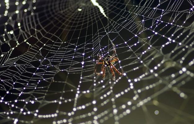 A aranha na rede com orvalho da manhã, em foco raso
