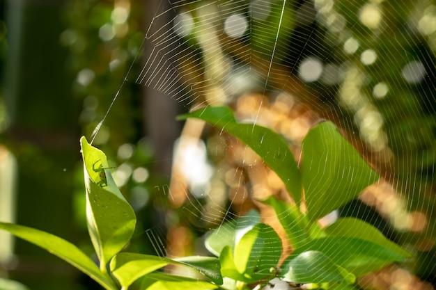A aranha nas folhas e teias de aranha no jardim.