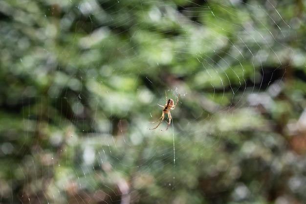 A aranha sobe na teia contra o fundo de uma floresta verde, verão Foto Premium