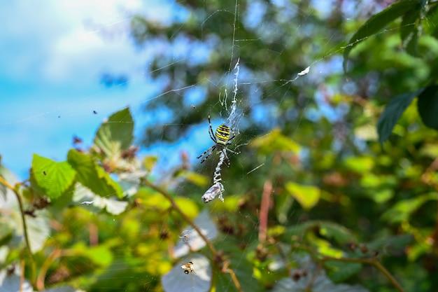 A aranha tigre (argiope bruennichi, aranha zebra) não é muito agressiva. comum em muitos habitats, com um corpo semelhante ao de vespas. a aranha tigre com presa.